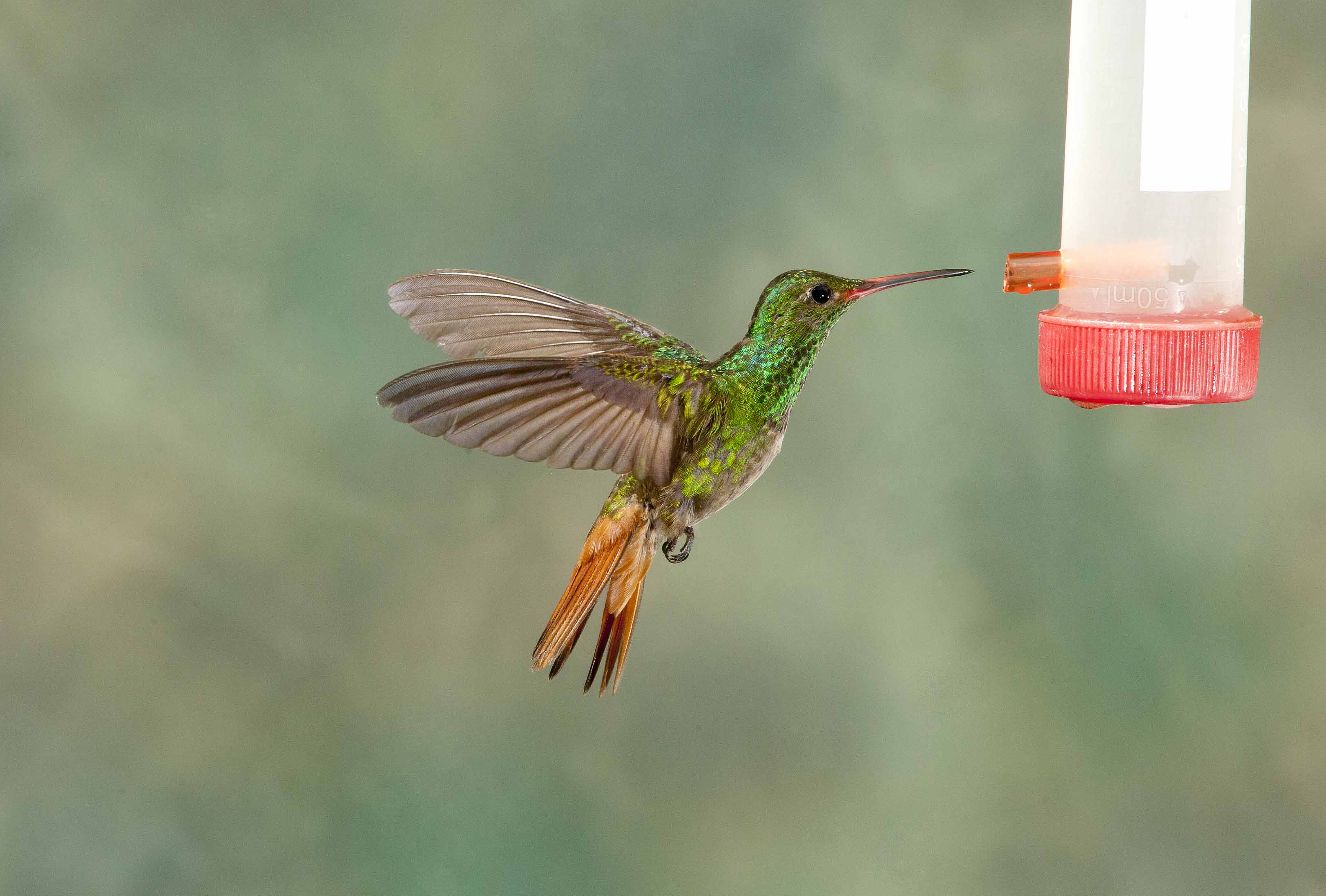 Rufous-tailed Hummingbird 3
